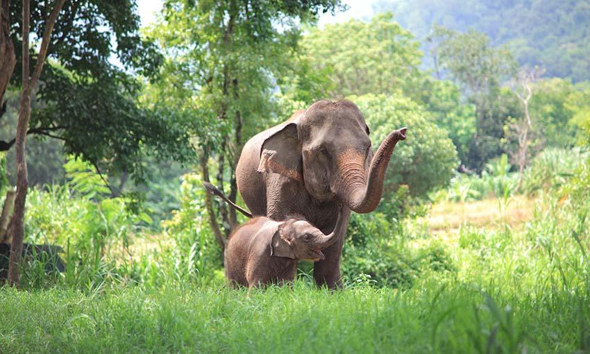 sanctuaire elephant chiang mai